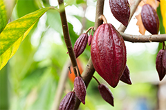 Biomedical research has shown the benefits of cocoa flavanols